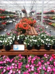 Natorp's flowers 2013  (263x350)
